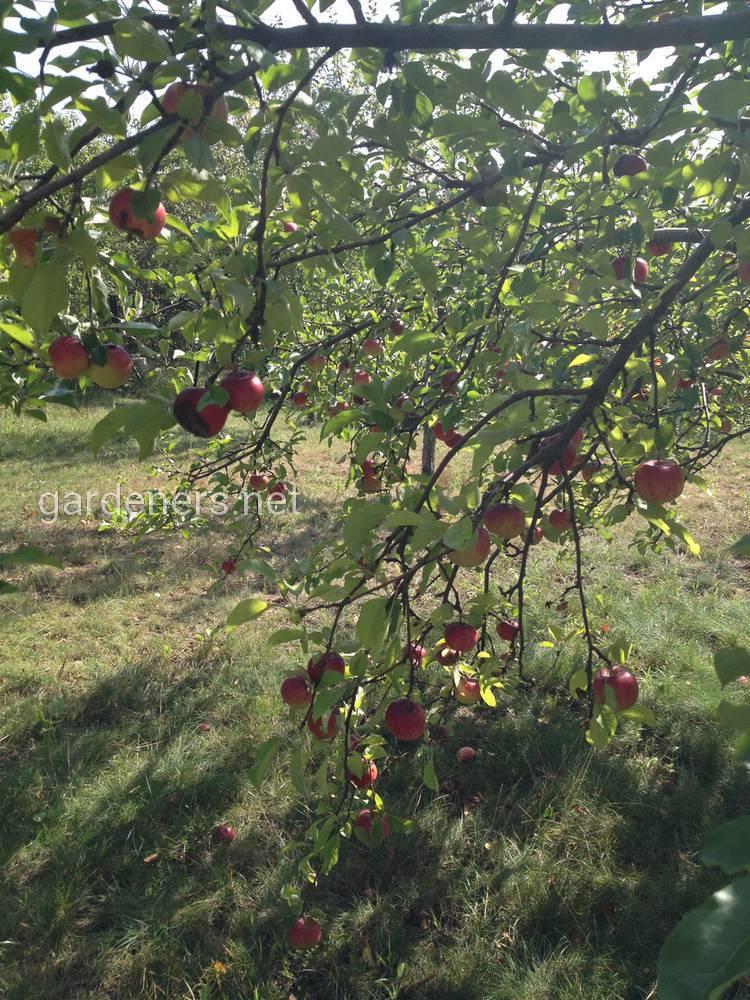 сбор урожая яблони
