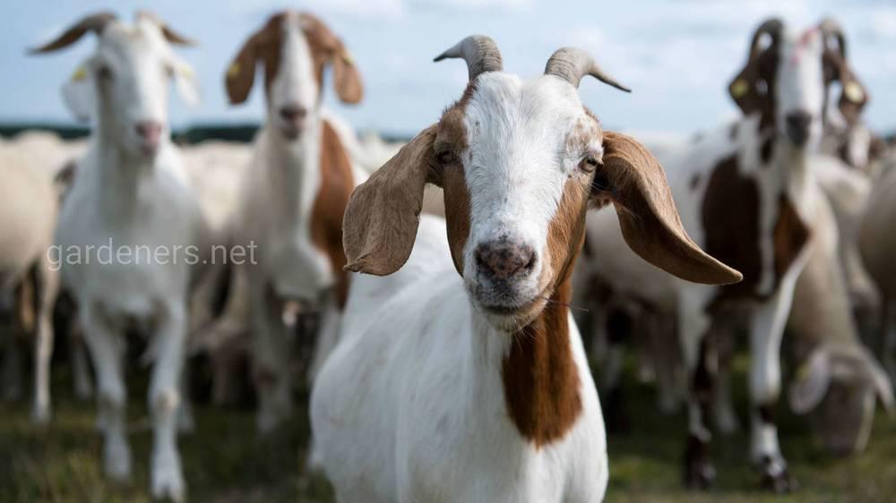 Лечение мастита у коз