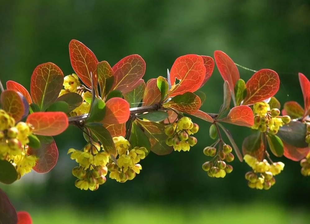 3-berberis-vulgaris.jpg