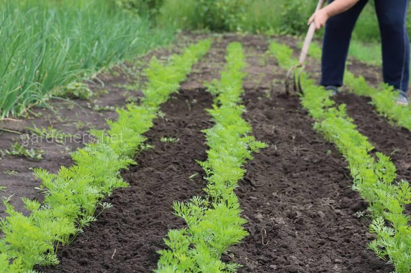 Как выращивать, прореживать и защищать морковь?
