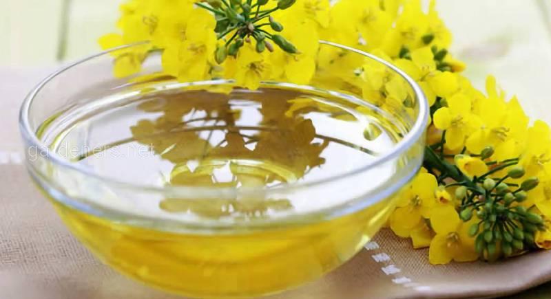 Ріпаковий мед — подарунок від самої природи