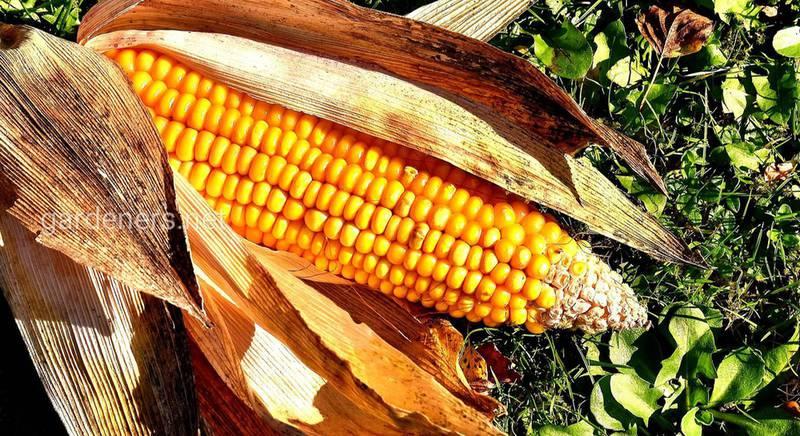 Как использовать кукурузу в качестве насадки для рыбалки