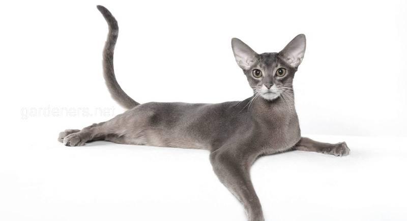 Кішки з високим рівнем інтелекту