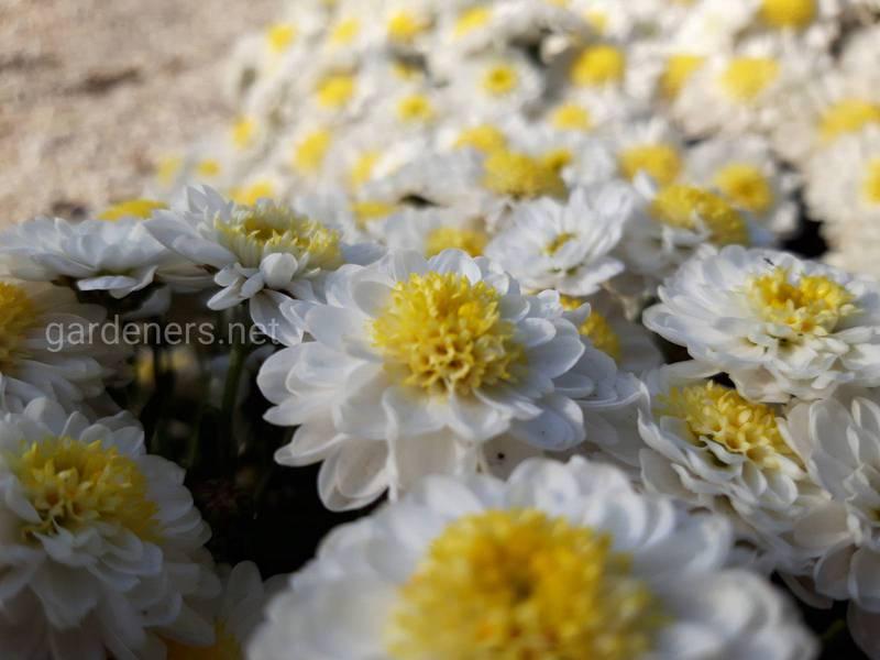 Топ-8 интересных фактов о хризантемах