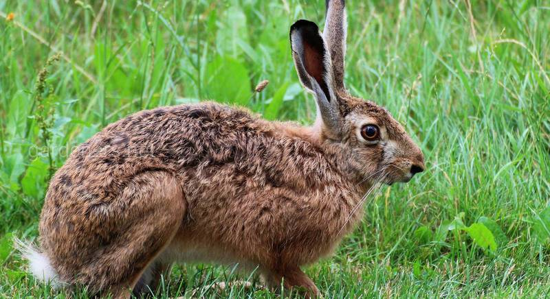 ТОП-6 основных отличий зайца от кролика