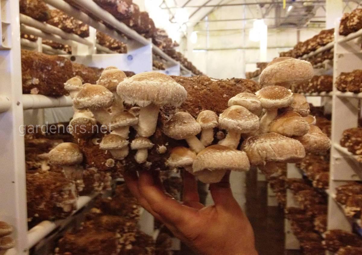 выращивание грибов шиитаки