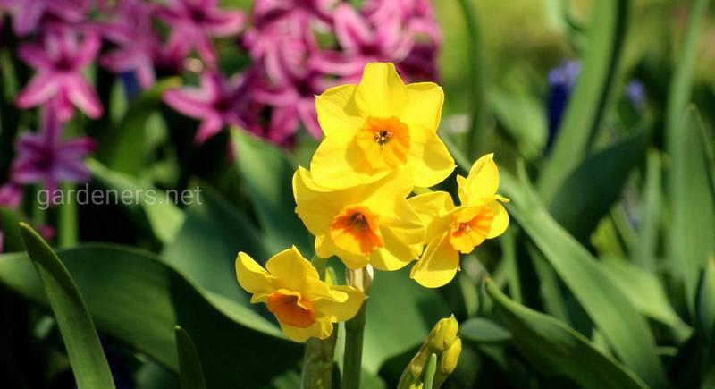 Компаньоны для луковичных цветов: многолетники в пару к луковичным