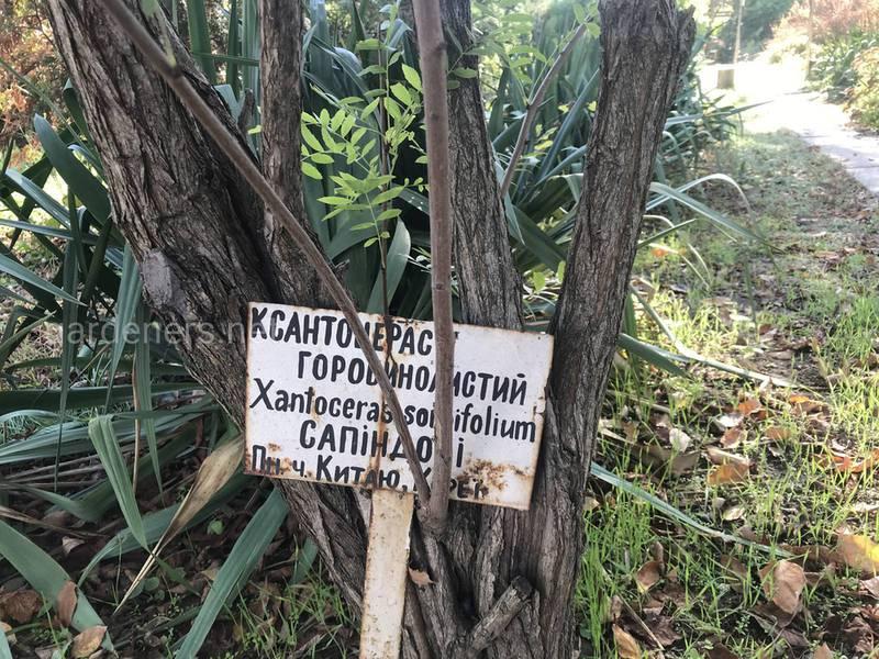 Ксантоцерас (чекалкин орех)