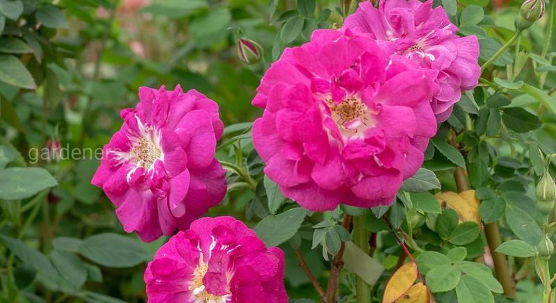 """Старинные цветочные """"королевы"""": история роз группы Boursault"""