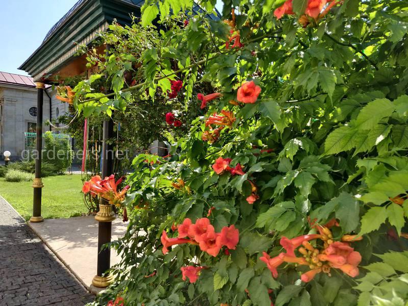 Вьющиеся садовые растения создают тень и служат защитой частной жизни