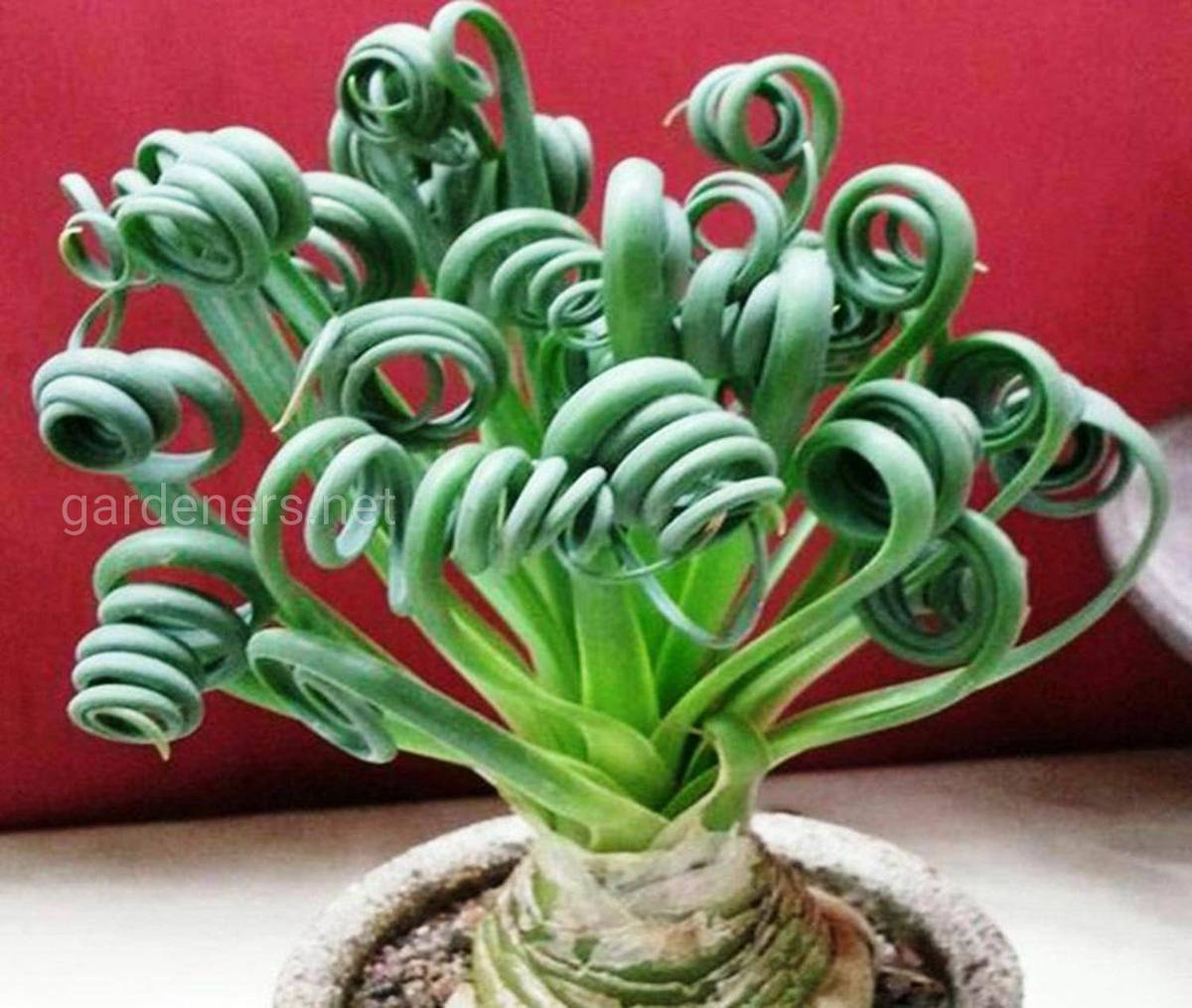 Moraea tortilis или Spiral Grass