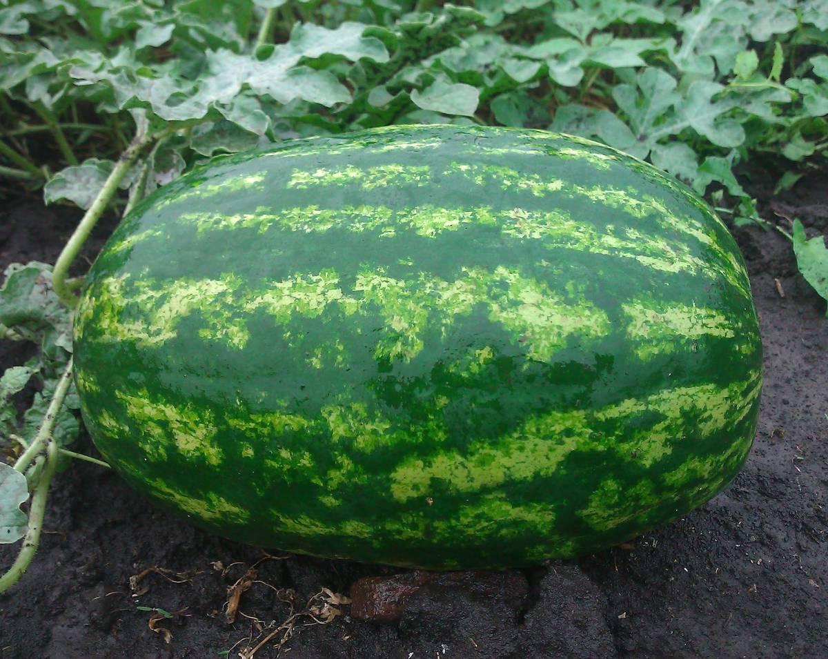 Лучшие сорта арбузов от голландских селекционеров | Огородники
