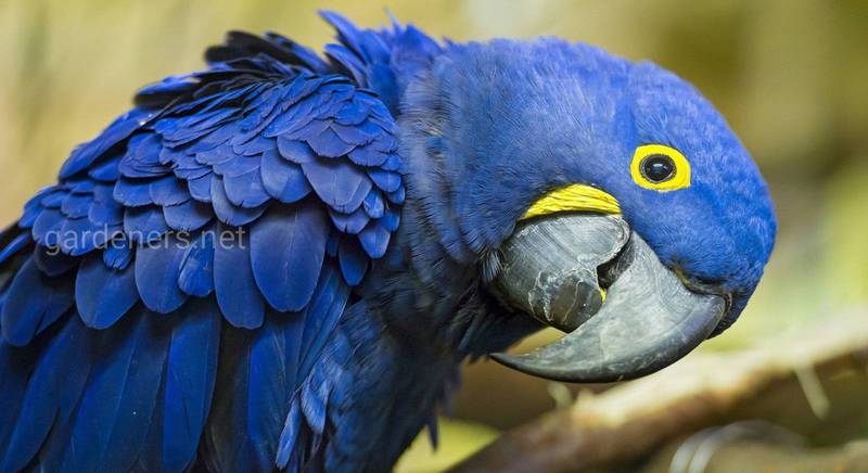 Попугаи ара описание породы