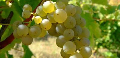 Sauvignon_blanc_vlasotince_vineyards.jpg