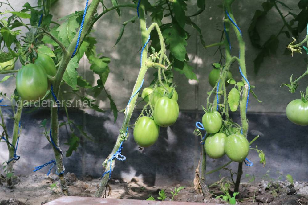 Зреют томаты