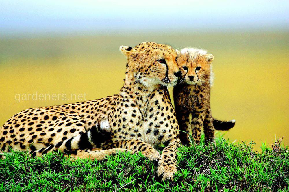 Гепарди не виробляють потомство в неволі