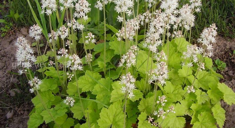 Распространенные сорта Тиарки, или Тиареллы: характеристика растений