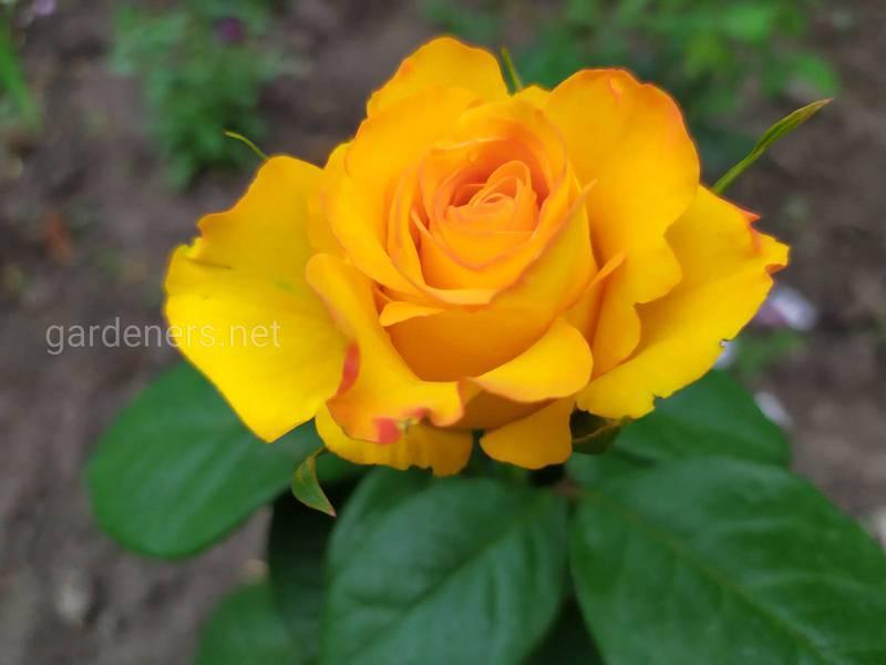 Які найпоширеніші види троянд, використовувані в декоративних цілях?