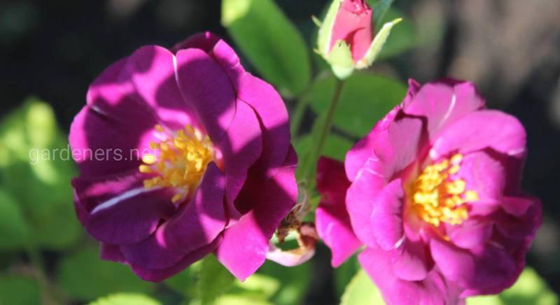 Розы грандифлора