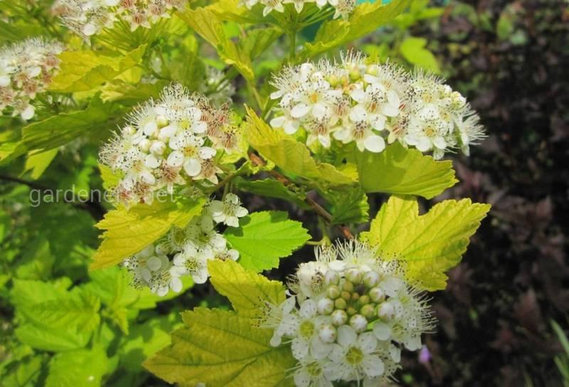 Карликовые лиственные растения для маленького участка