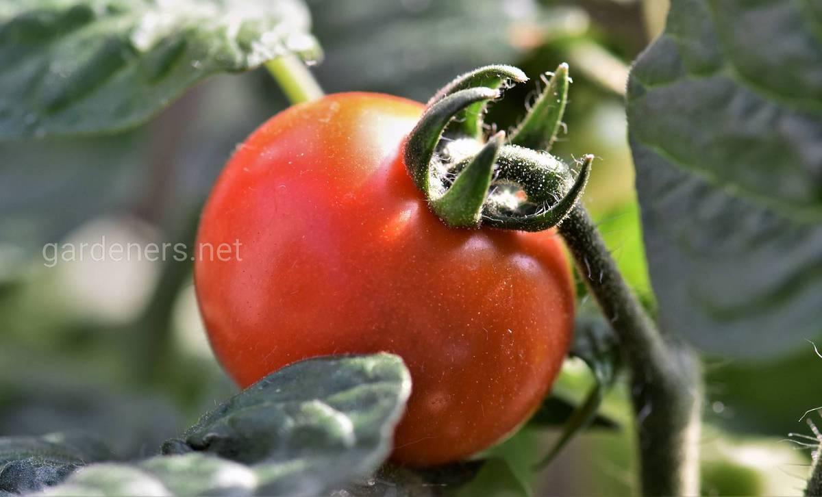Какие томаты подходят для сбора семян