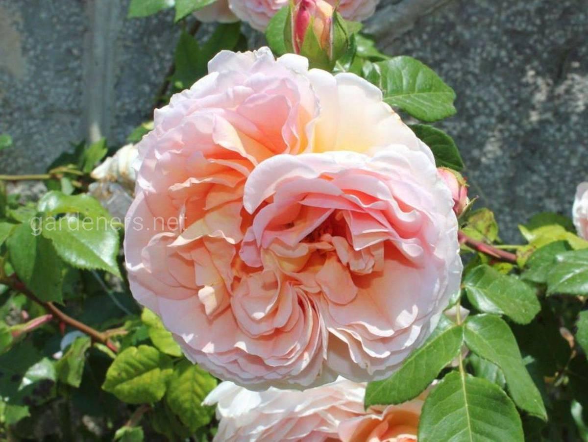 розы Графиня Воронцова