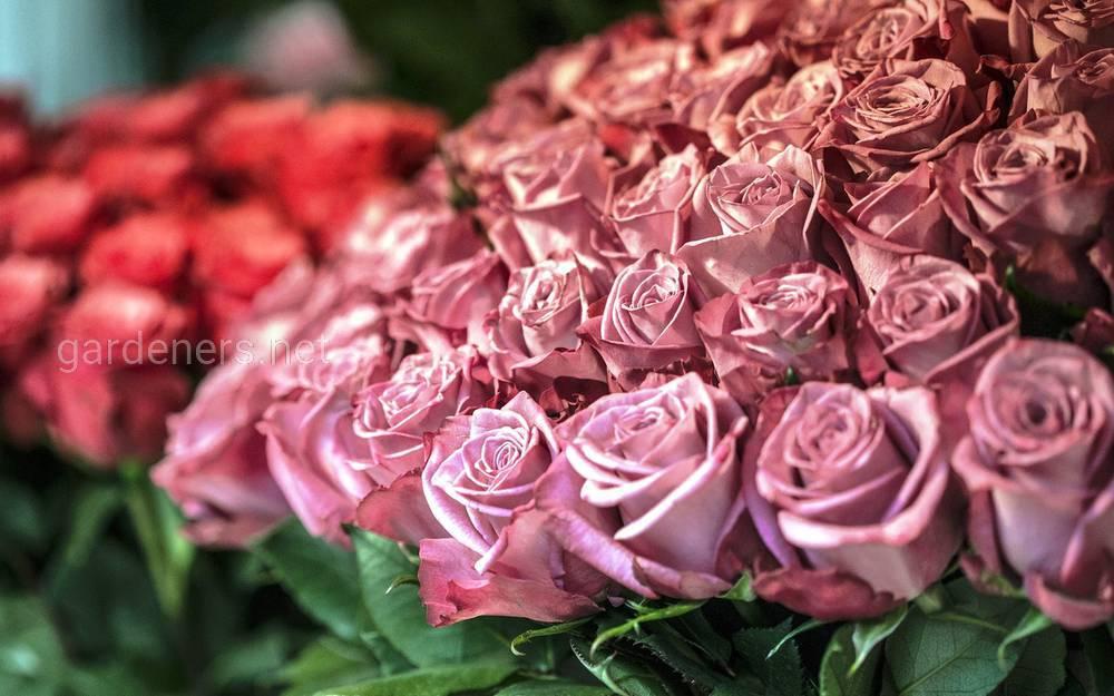 розы - классика ко дню учителя