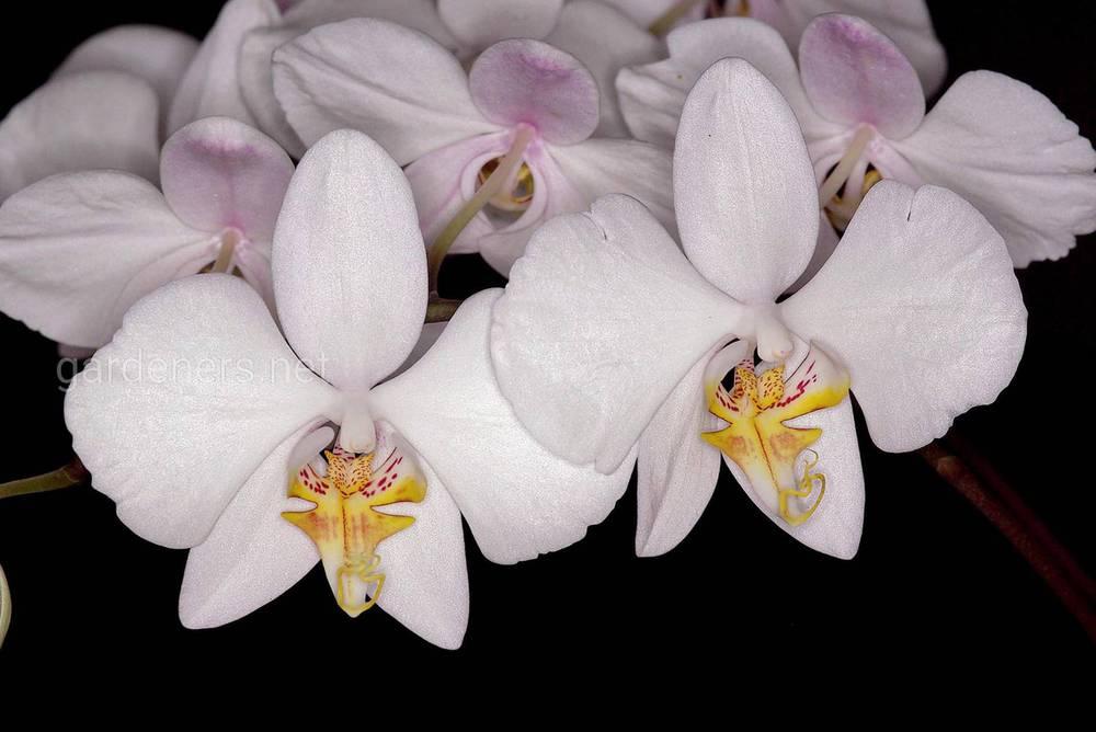 Epidendrum amabilis