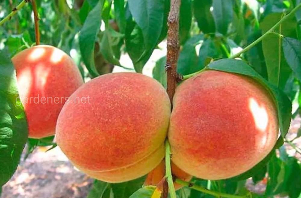 сорт персика Августовский стойкий