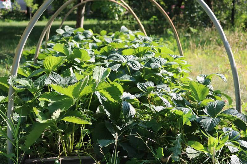 Вчимося на чужих помилках: ТОП-10 помилок при вирощуванні полуниці