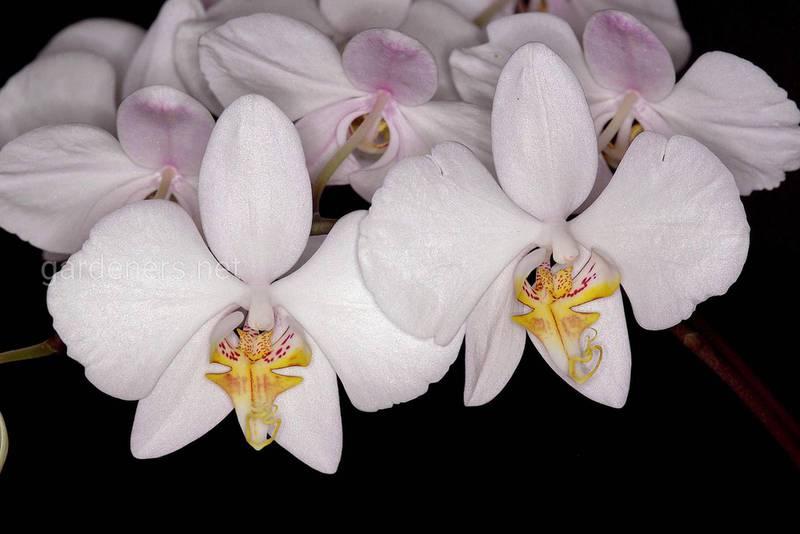 Які умови є найкращими для вирощування орхідеї?