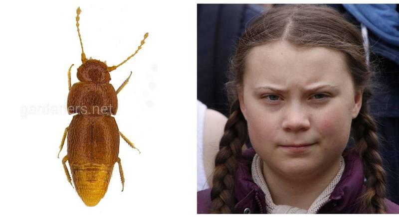 В честь шведской экоактивистки Греты Тунберг был назван новый вид жуков-перокрылок