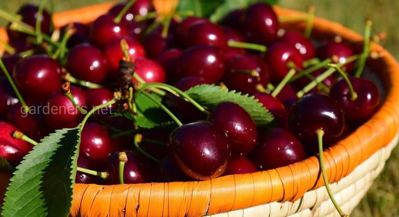 ТОП-5 рецептов настойки из черешни: вкусный и натуральный десертный напиток