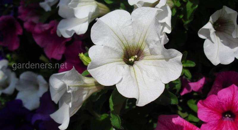 ТОП-10 обильно цветущих петуний