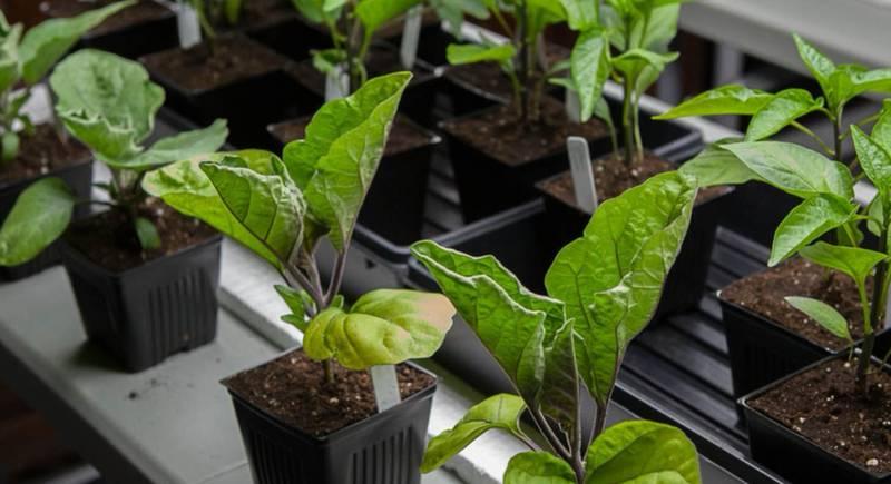 Выращивание рассады баклажана: как вырастить сильное растение