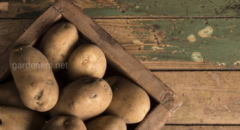 Высаживаем картофель на одном и том же месте: как правильно