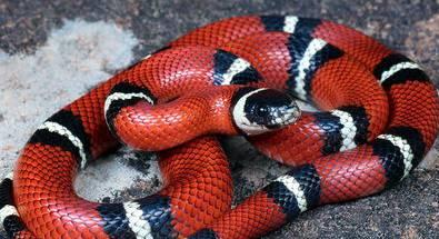 Молочная змея андская