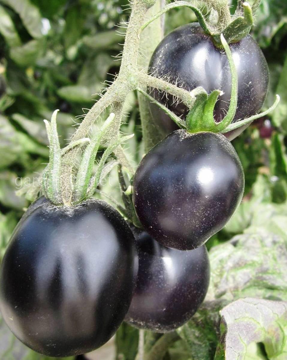 Black Galaxy томат