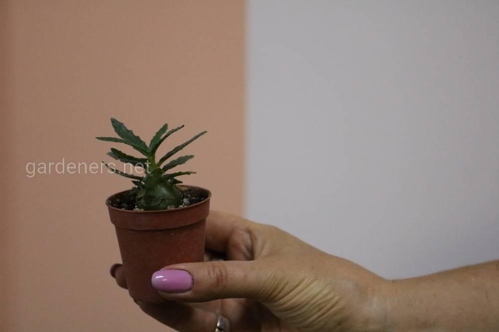 цветы кактусы