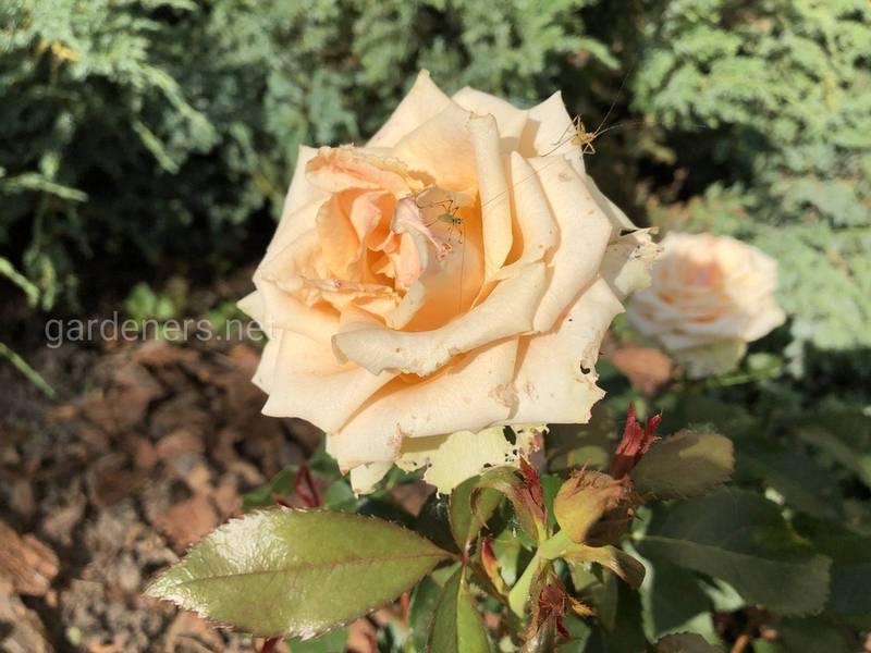 Как предотвратить появление тли на розах?