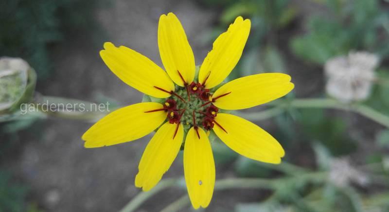 Берландіера або шоколадна квітка: види ароматної і химерної рослини