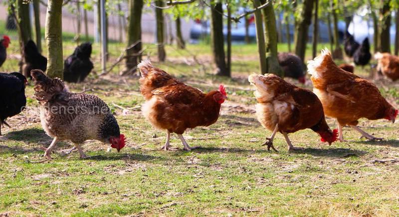 Разновидности и особенности использования куриного помета