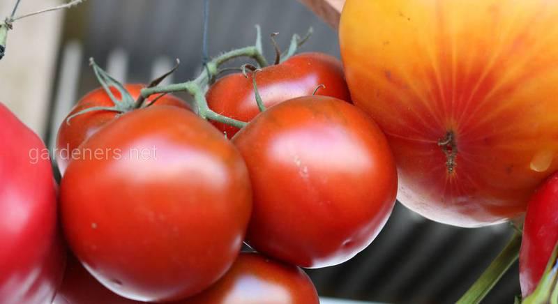 Любимчик грядки — сорт томата «Толстый Джек»