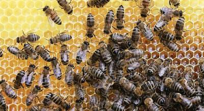 Пчеловодство в Арабских Эмиратах.jpg
