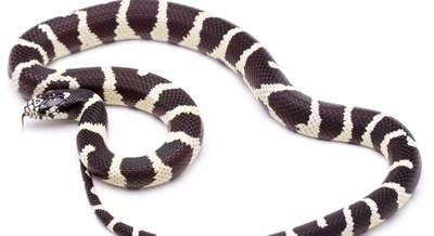 Каліфорнійська королівська змія
