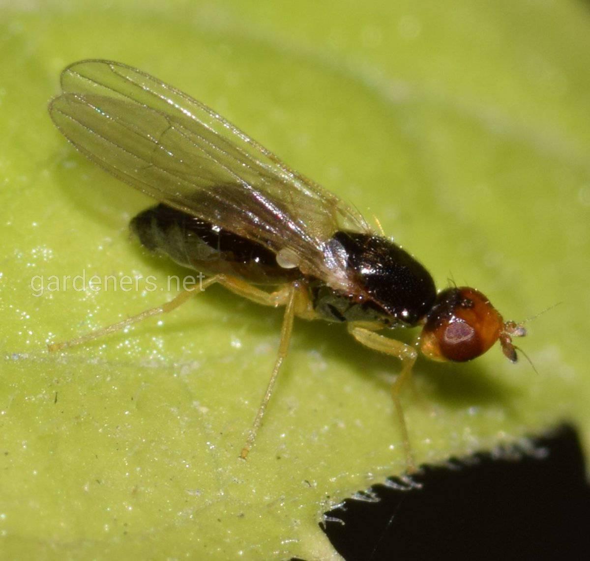 морковная муха1.jpg