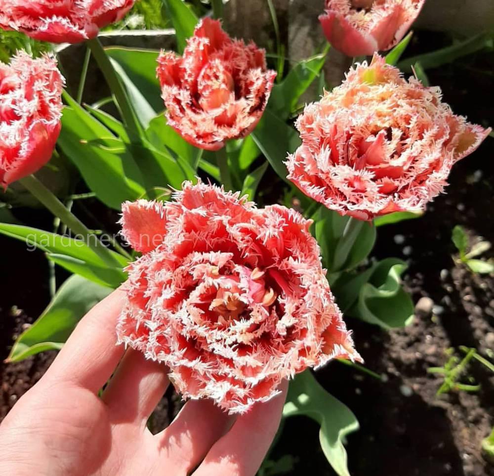 Луковицы тюльпана Brest