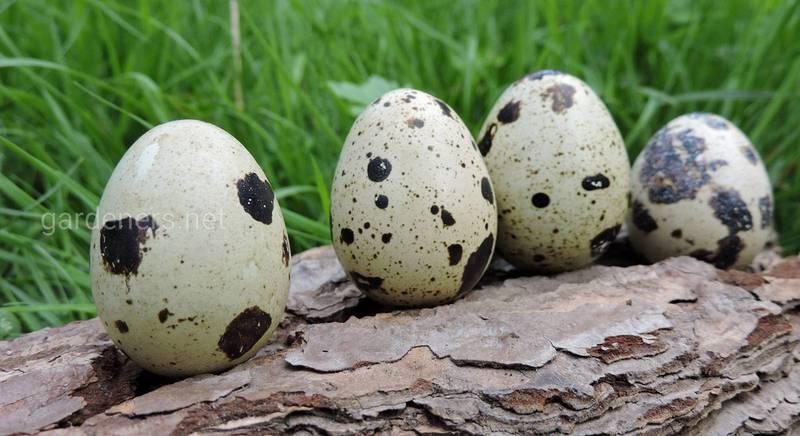 Удивительные преимущества перепелиных яиц для здоровья человека