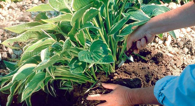 ТОП-20 растений, которые нужно подвергнуть делению в сентябре-октябре