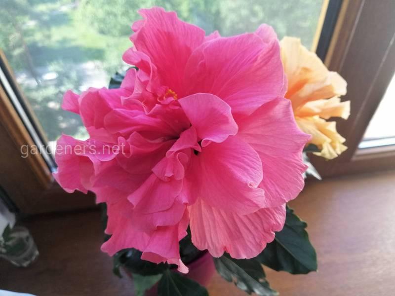 Гибискус - красивый цветок, который цветет только один день
